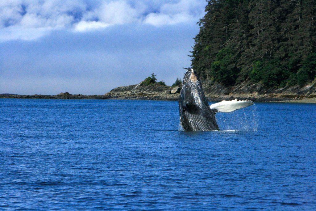 8-14-15 whale breaching 3